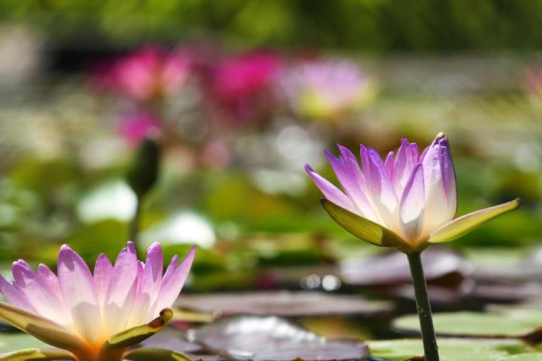 Civic League Park - Water Lily Collection (5)